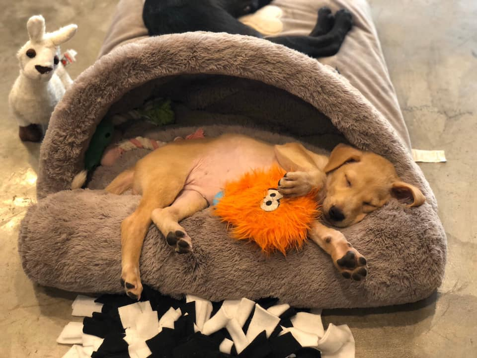 puppy sleeping at adoptable puppy cafe