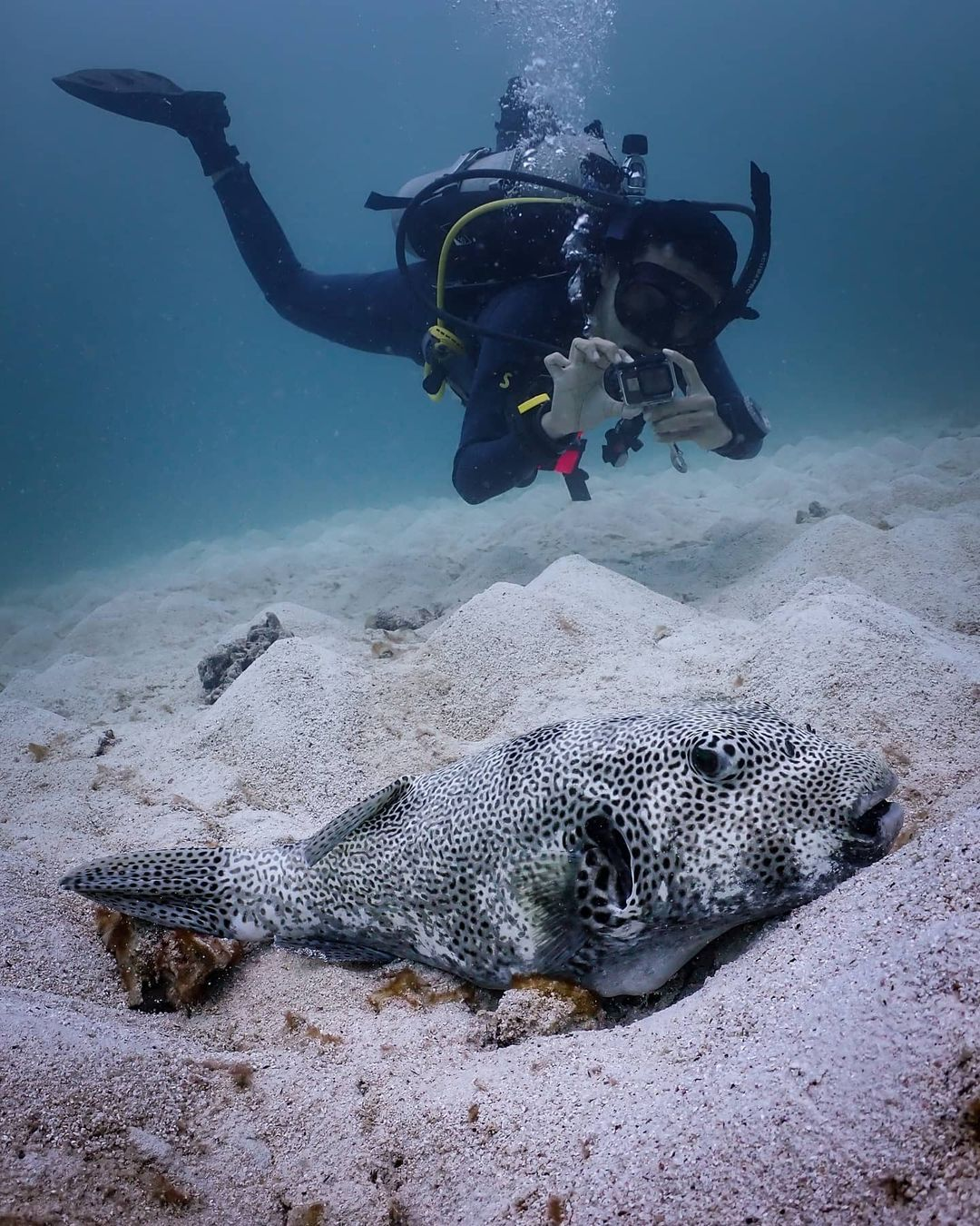 diver with pufferfish