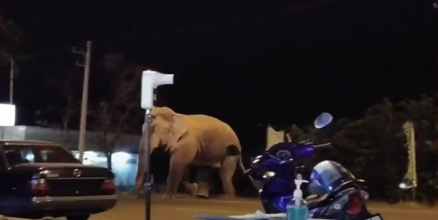 Two Wild Elephants Are Regular Passerby