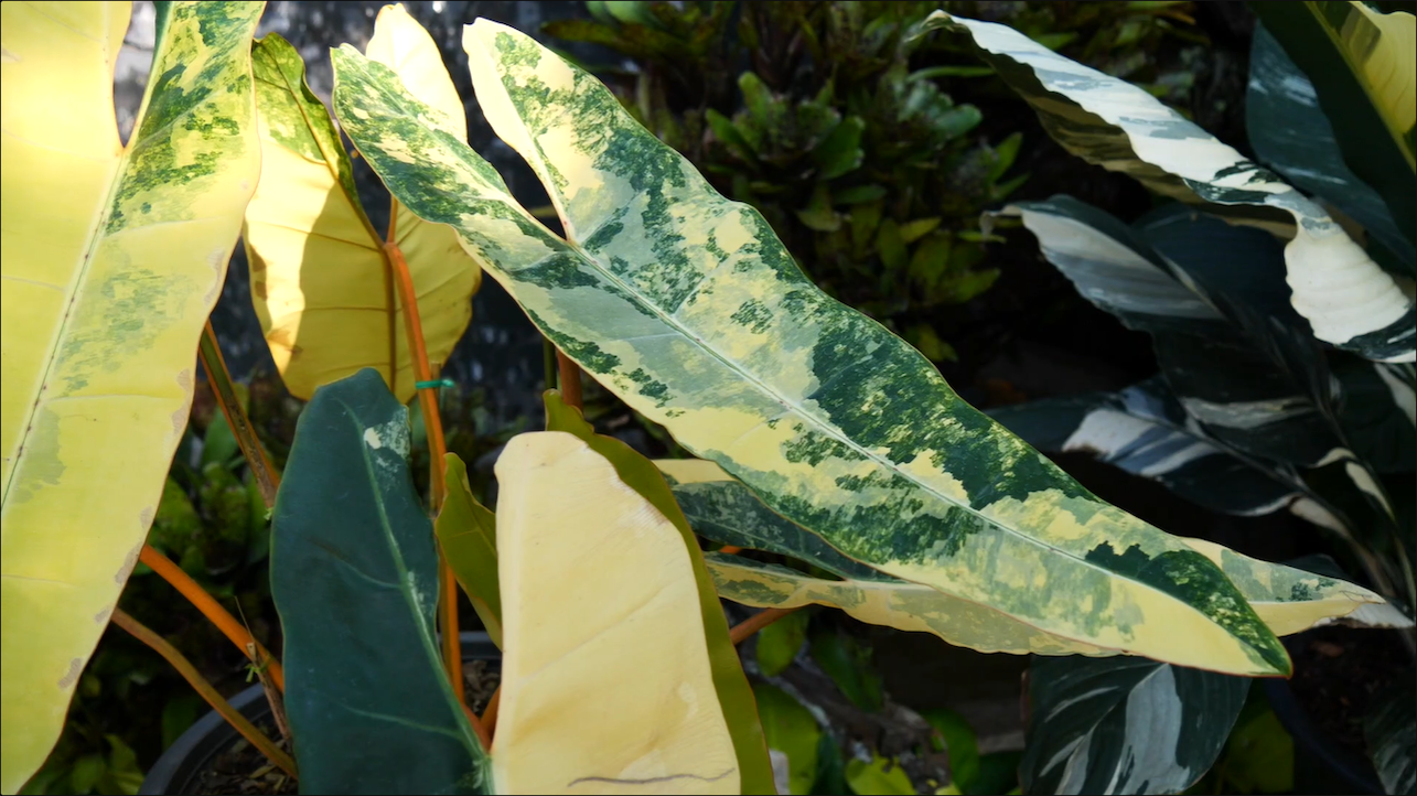 Philodendron plant Thailand Maejo
