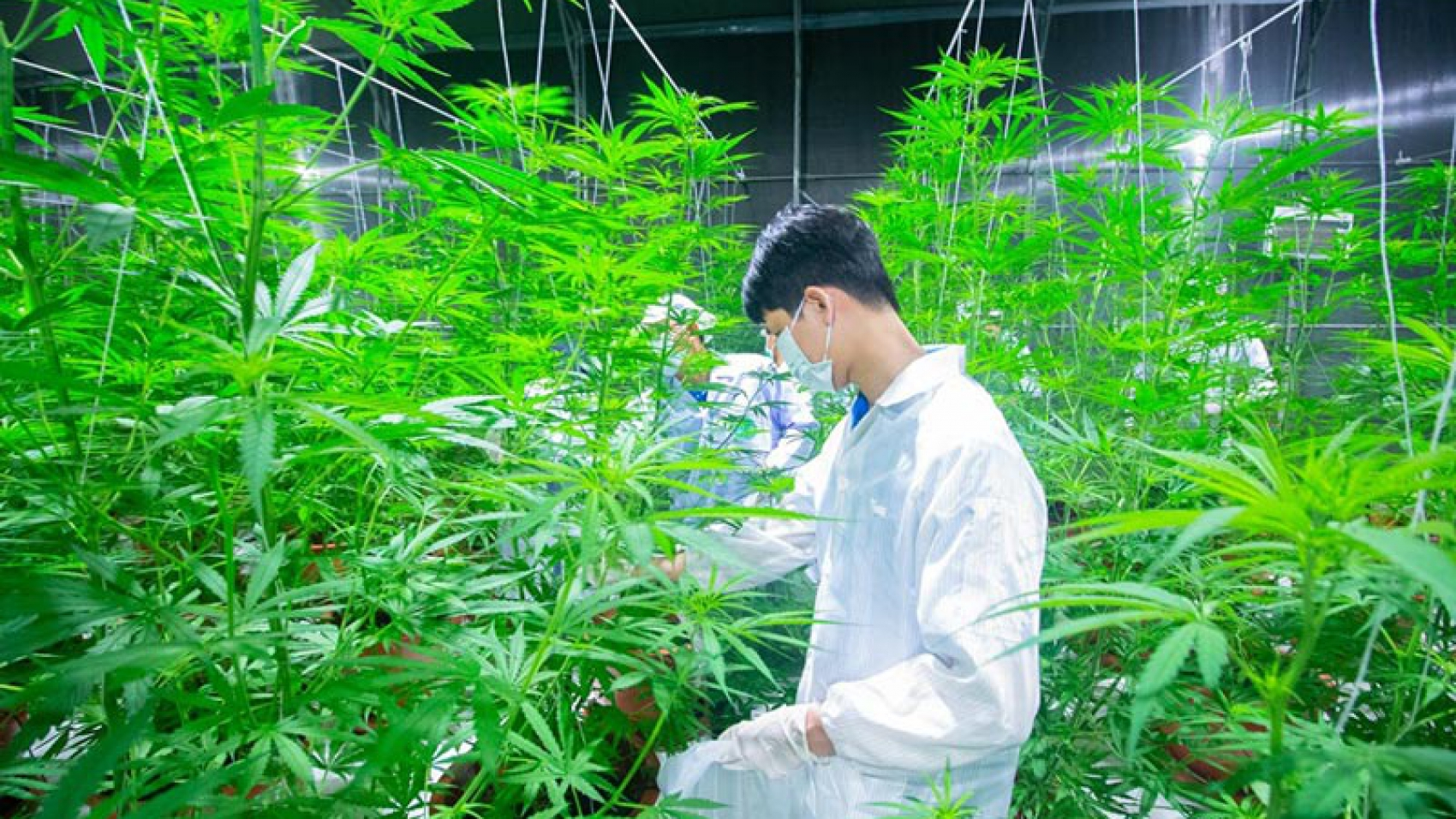 FDA pushes for cannabis in thailand