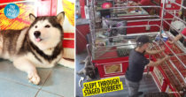 "Husky ""Guard Dog"" Sleeps Through Robbery Practice At Thai Jewellery Store, Tickles Netizens"