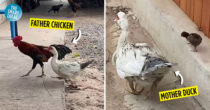 Baby Chick-Duckling Hybrids Hatch, Owner Realises Parents Were Of Different Species