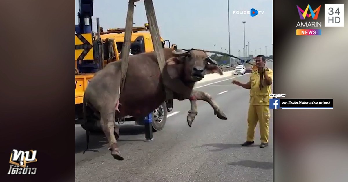 Three Buffaloes Caught Making Their Way Downtown On One Of Thailand's Busiest Motorways