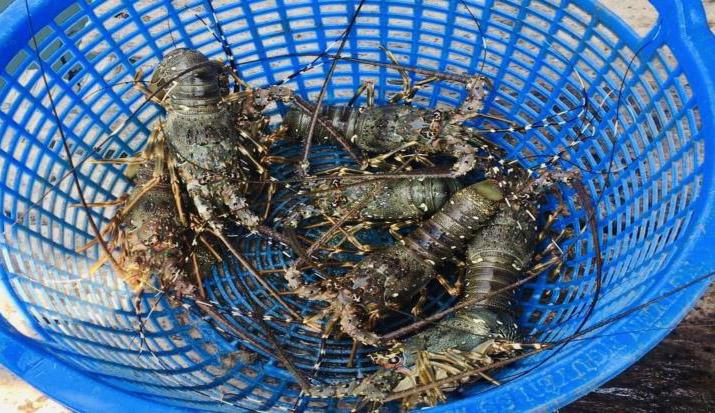 Phu Yen lobster