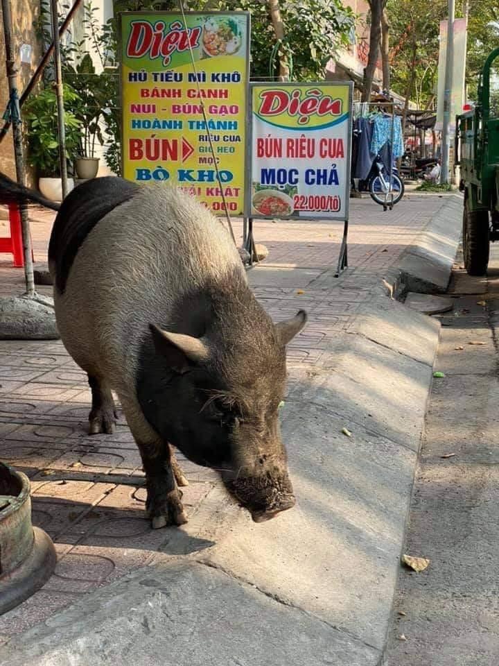 chonky pig_roaming Bien Hoa