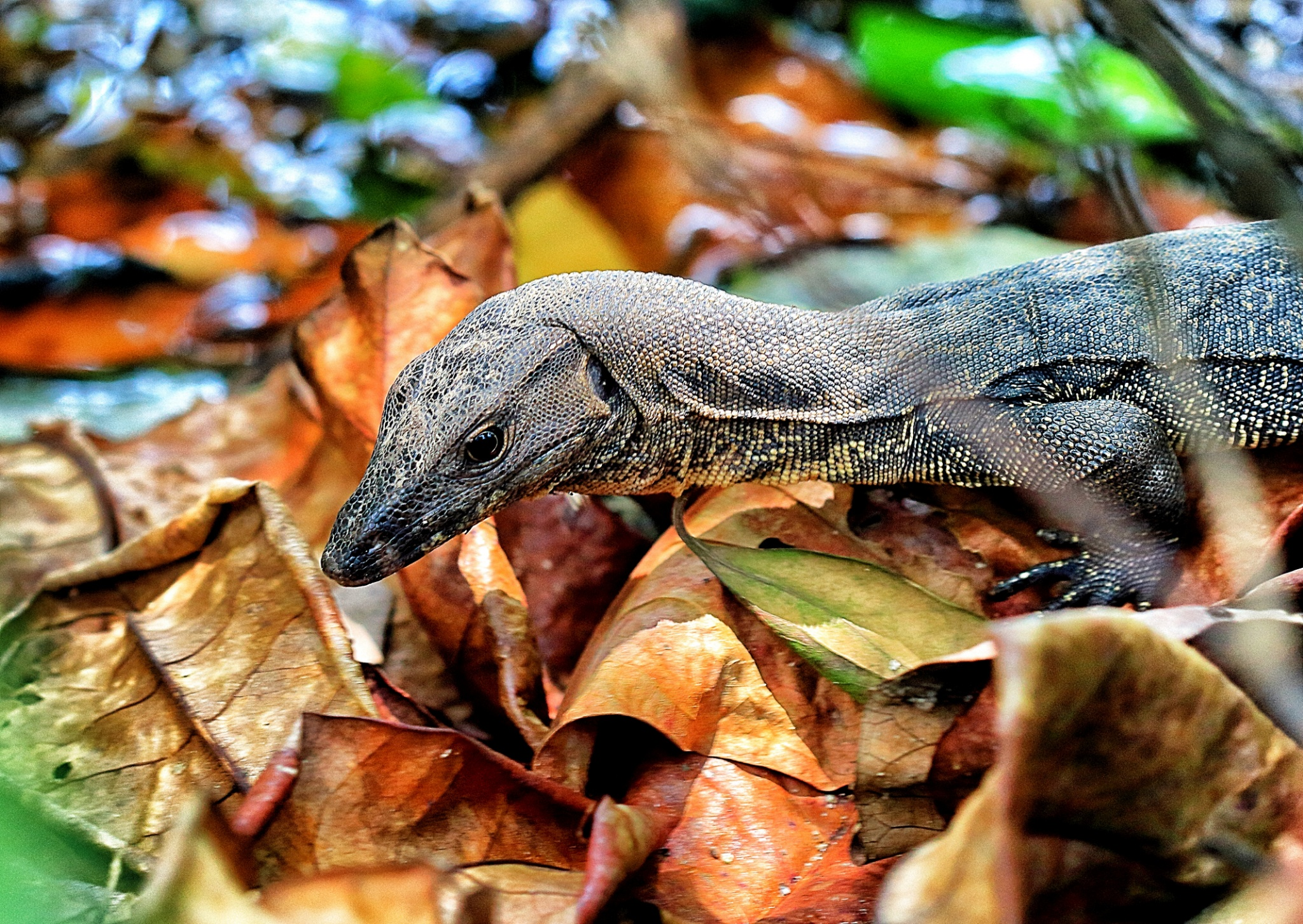 The Water Monitor Lizards of Sungei Buloh