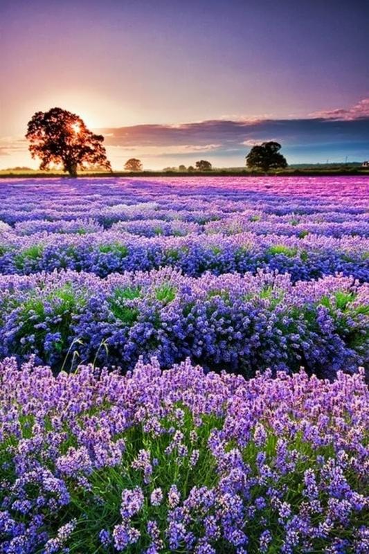 b2ap3_thumbnail_04-lavender-field.JPG