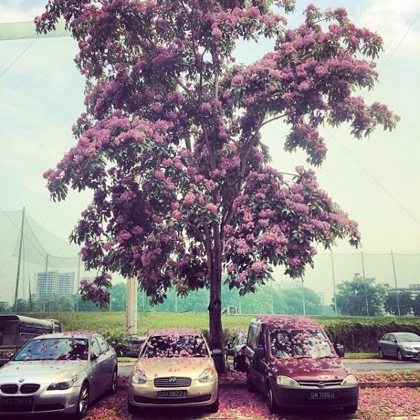 b2ap3_thumbnail_sakura-singapore.jpg