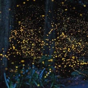 b2ap3_thumbnail_fireflies2.jpg