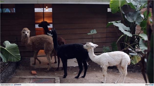 Alpacas Batu Zoo