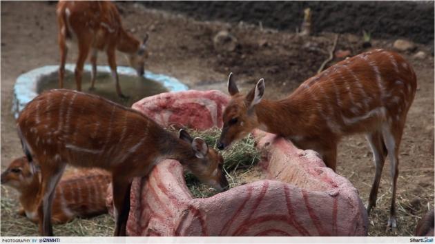 Deer Batu Zoo