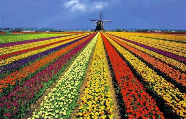 b2ap3_thumbnail_tulip-fields-holland-unlockingkiki.jpg