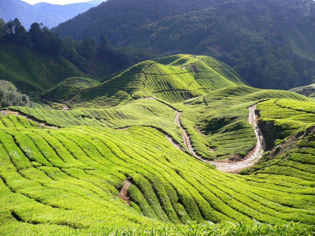 3.-Cameron-Highlands.jpeg