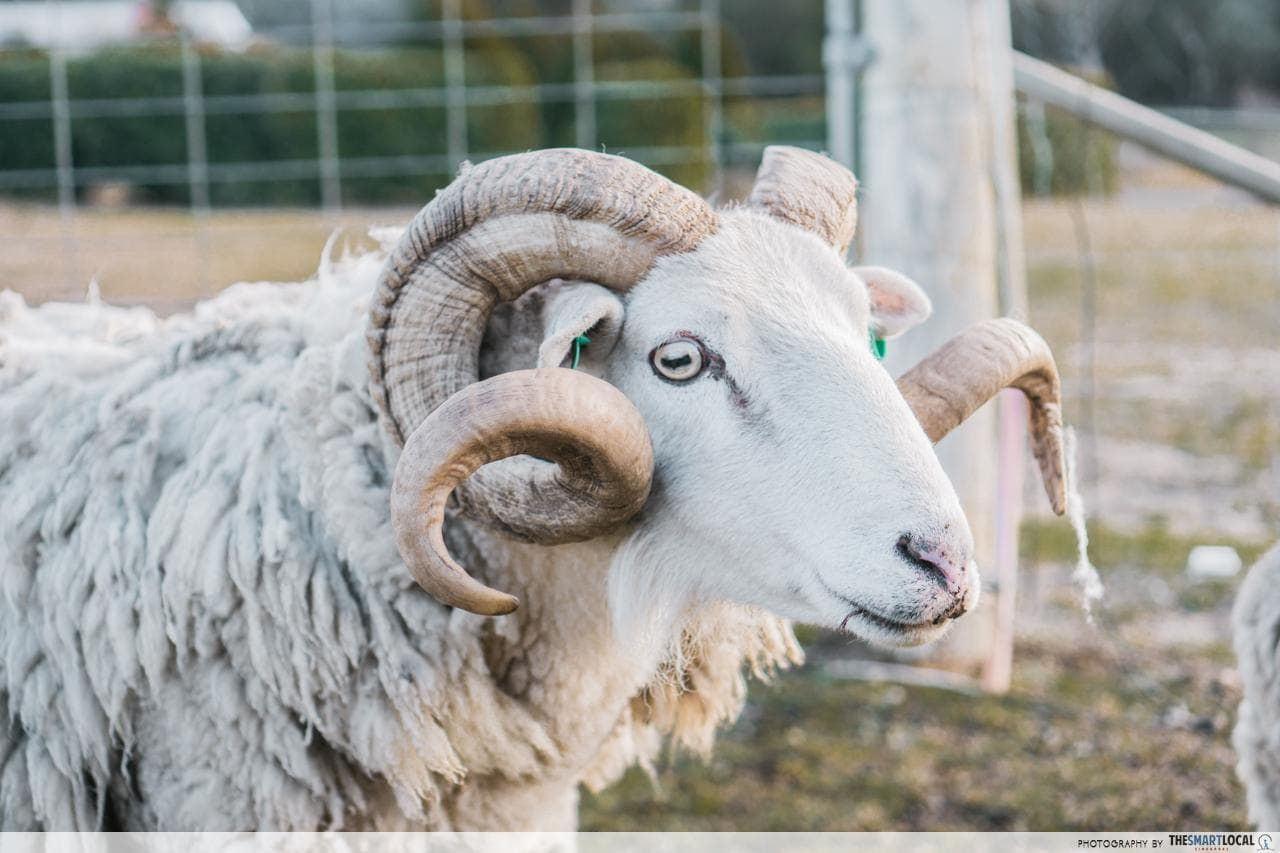 downunder farmways horned goat