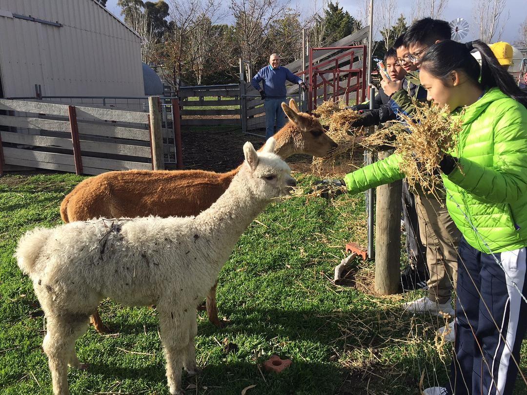 sydney farmstay alpaca jetabout