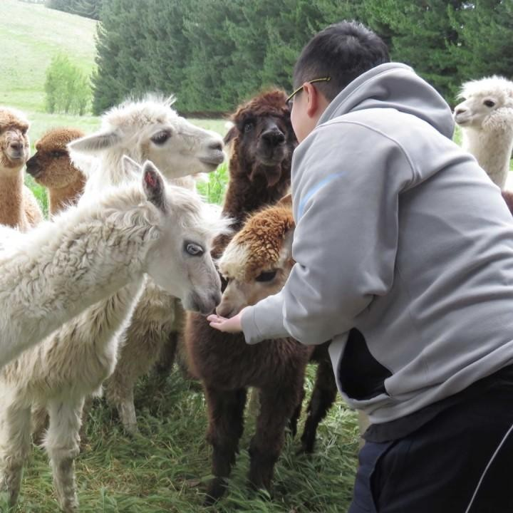 windermere alpacas llamas farm tour