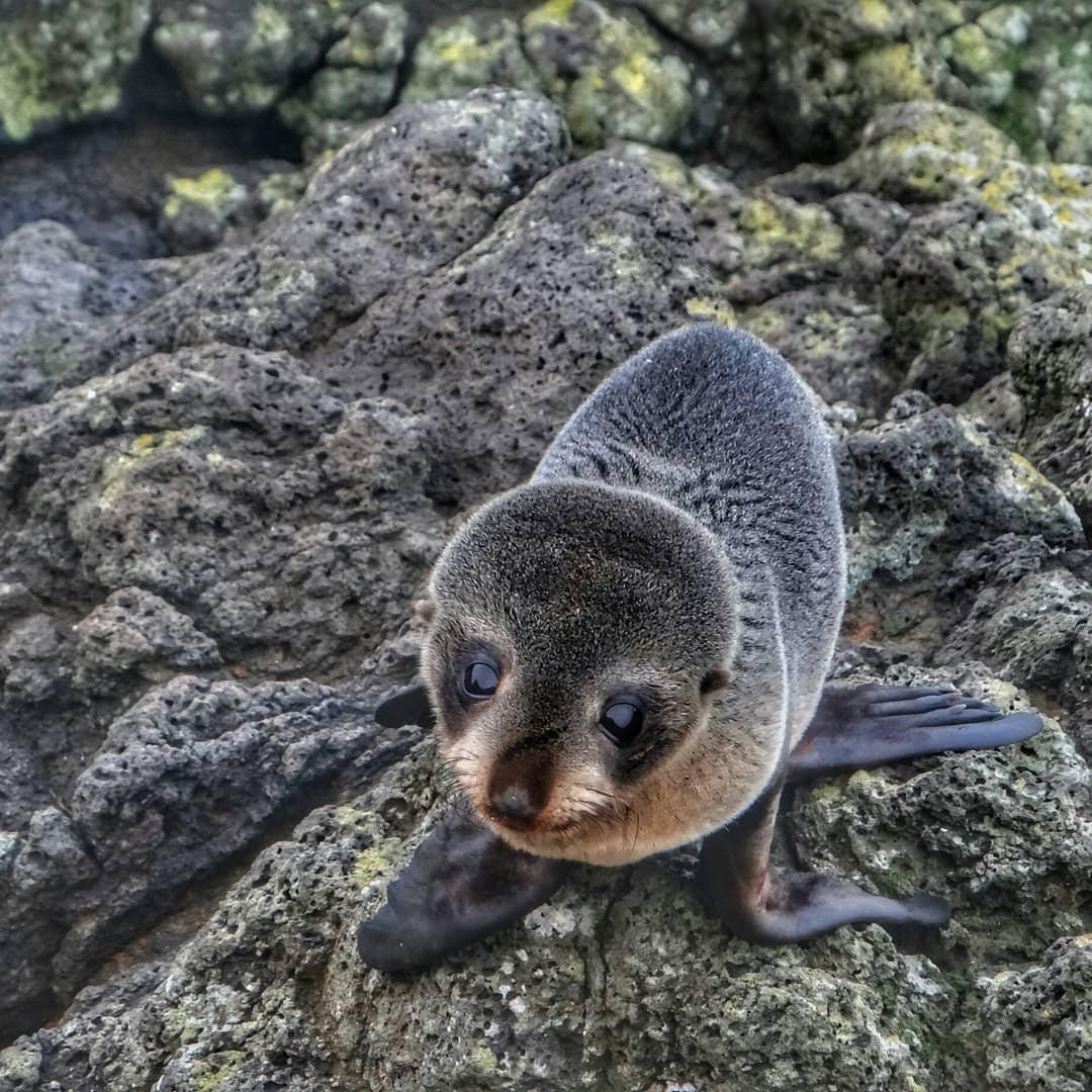 baby fur seals otago peninsula