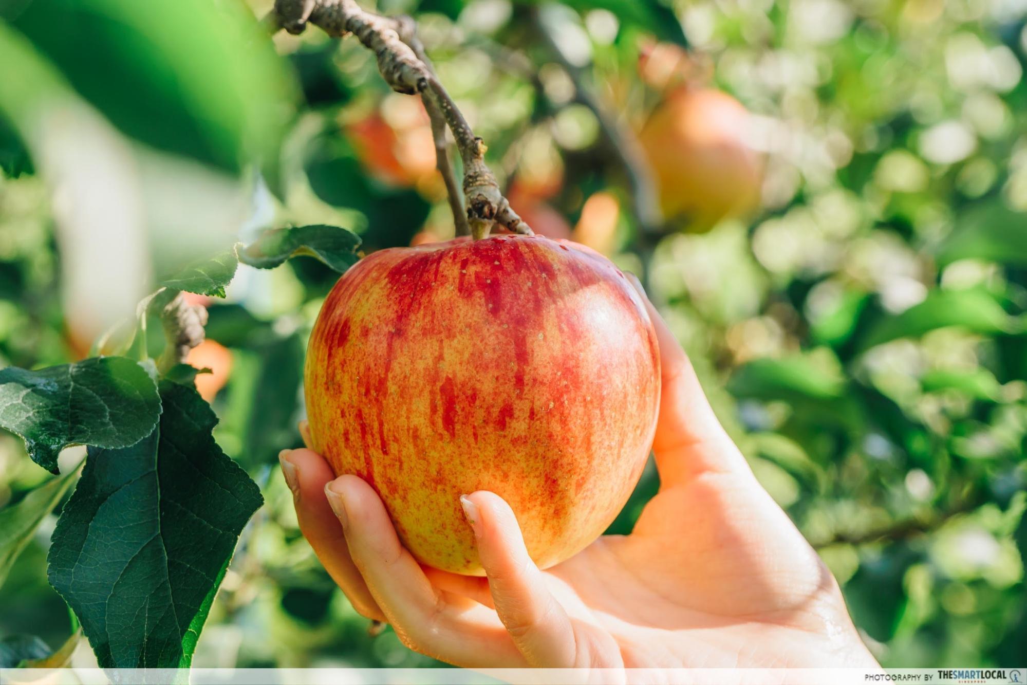 tohoku japan - fuji apple picking