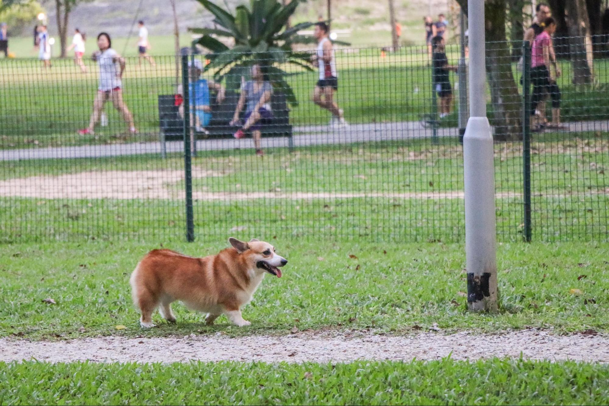 Dog runs Singapore - bishan park dog run corgi