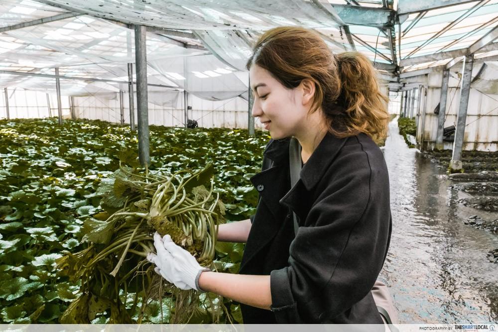 Azumino, Japan - fresh wasabi - wasabi farm