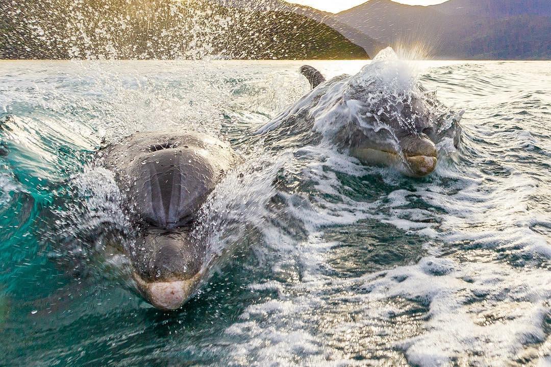marlborough sounds dolphins