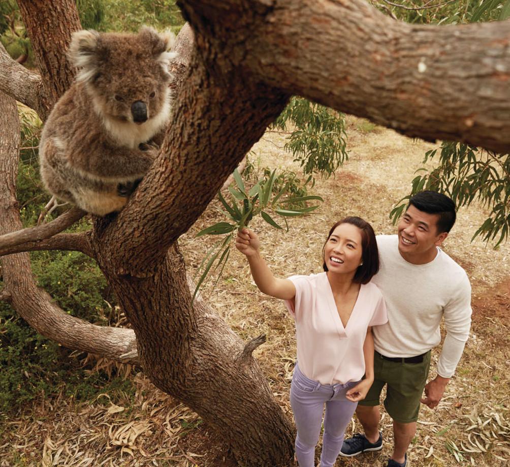 Mikkira station picnic with koalas