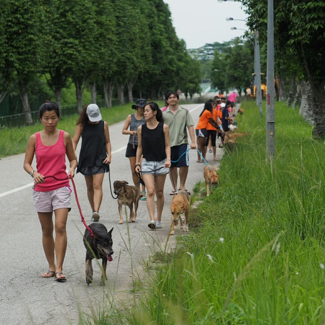 volunteering with animal shelter singapore dogs cats rabbit action for singapore dogs walk