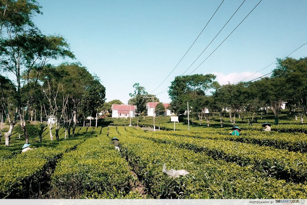 wonosari tea plantation