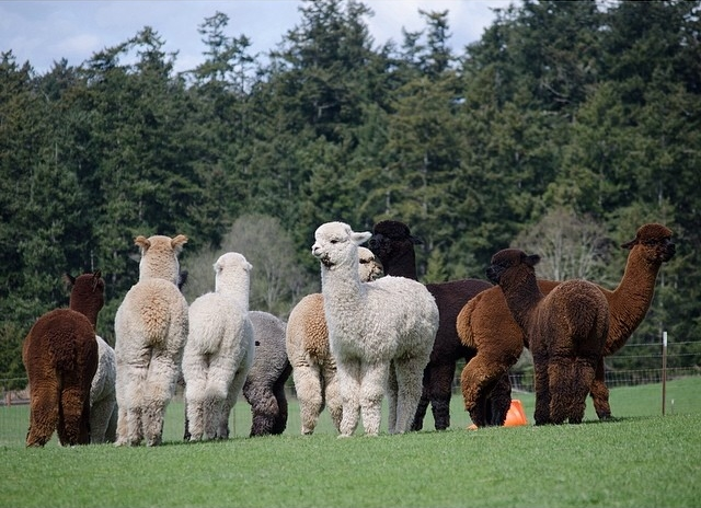 Seattle travel guide SIA - krystal acres alpaca farm