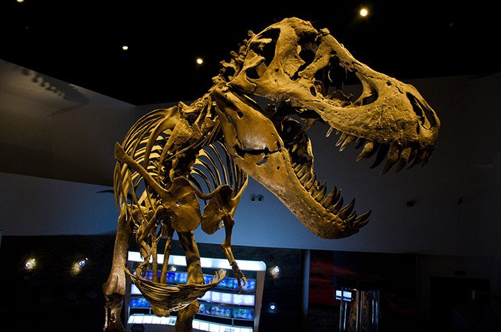 the mind museum t-rex skeleton