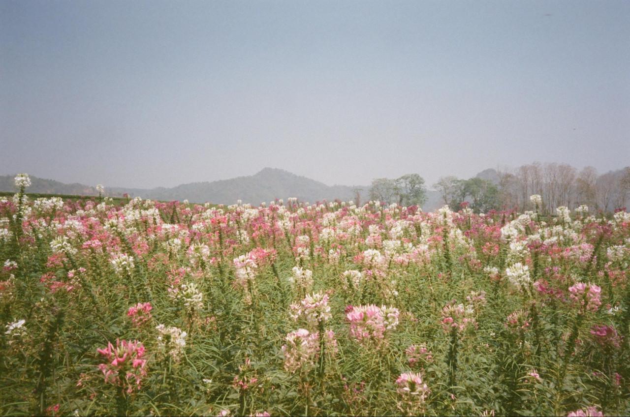 singha park thailand chiang rai airasia flower fields hot air balloon cosmos
