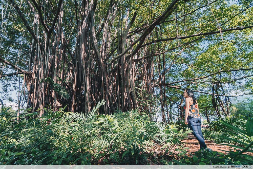 Giant creepy Banyan Tree