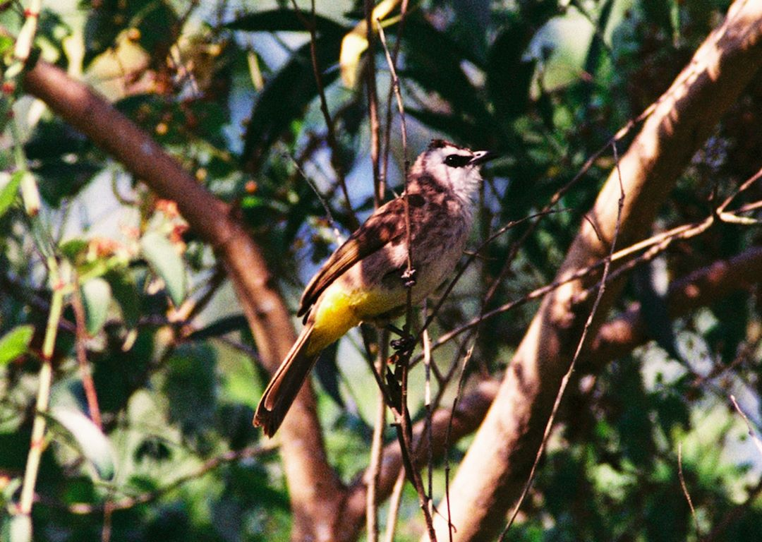 nature reserves and parks - yellow-vented bulbul at tampines eco green