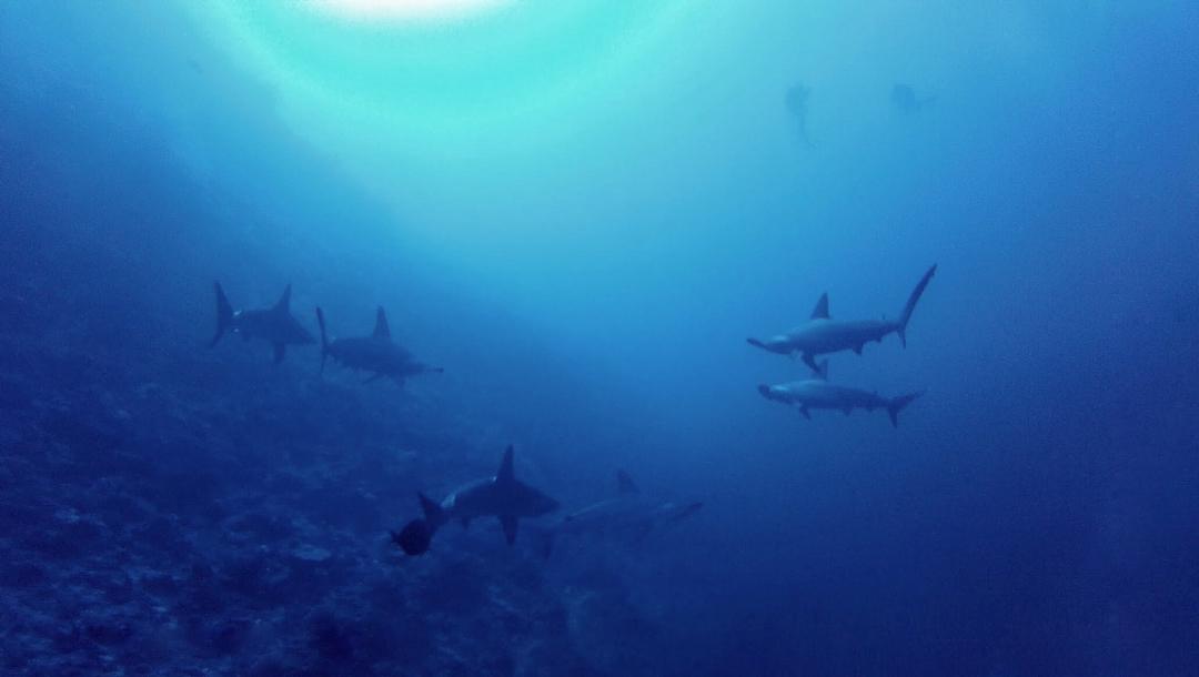 Lombok Islands sharks