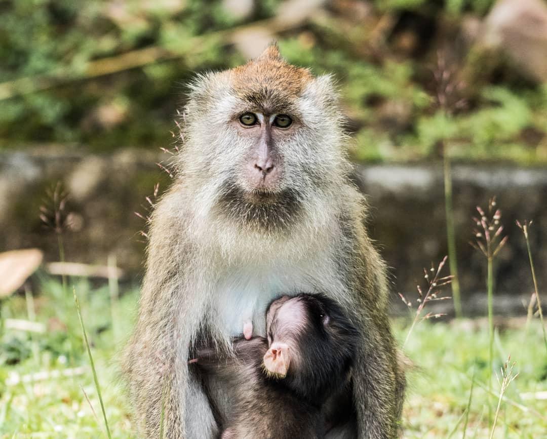 langkawi gunung raya macaque