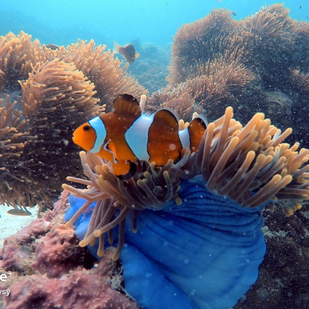 langkawi clownfish