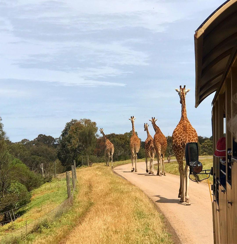 Chan Brothers Australia Sale Werribee Open Range Zoo