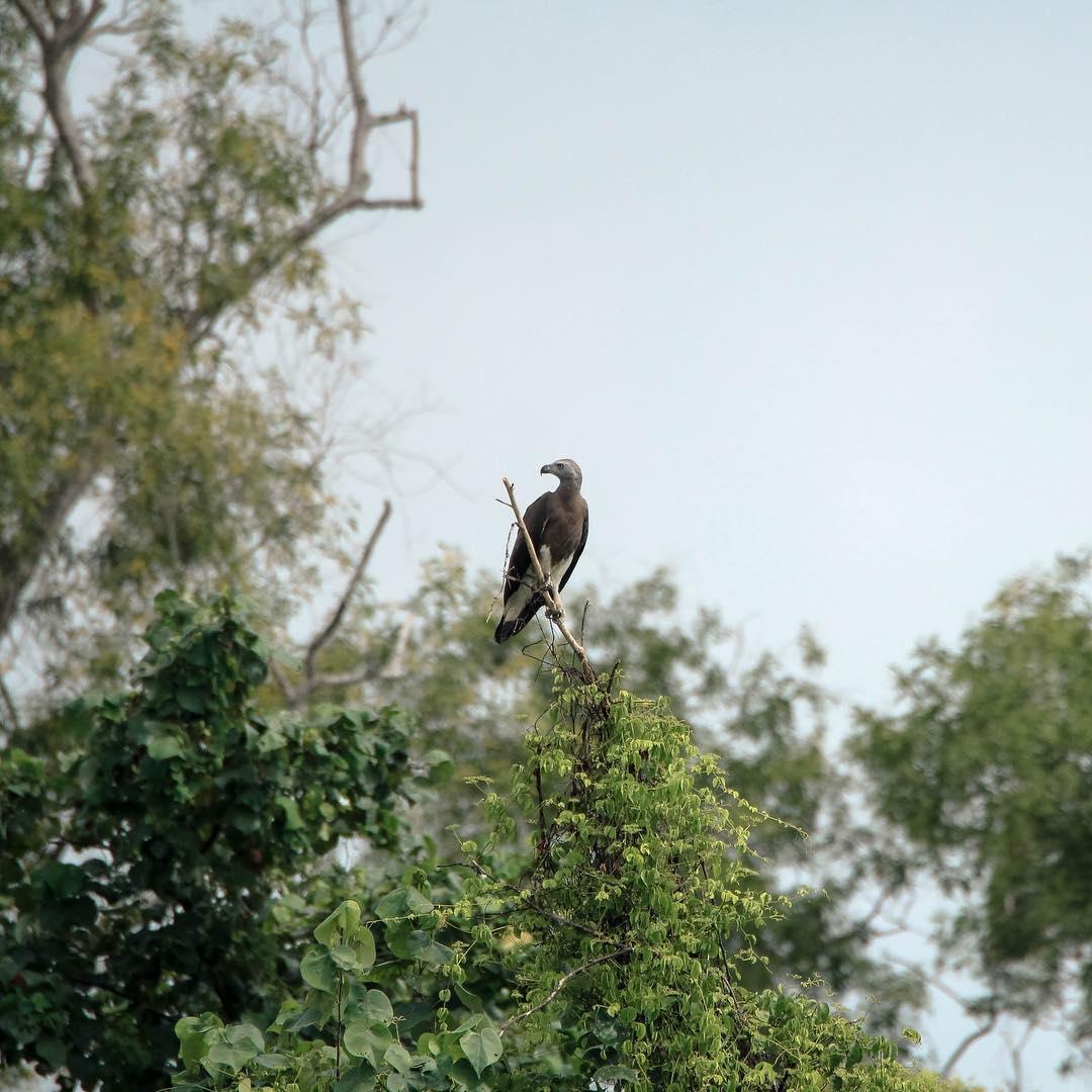 sunrise and sunset in singapore - kranji reservoir park eagle