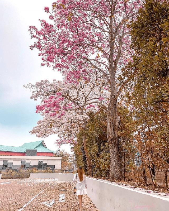"Singapore's ""sakura"" trees"