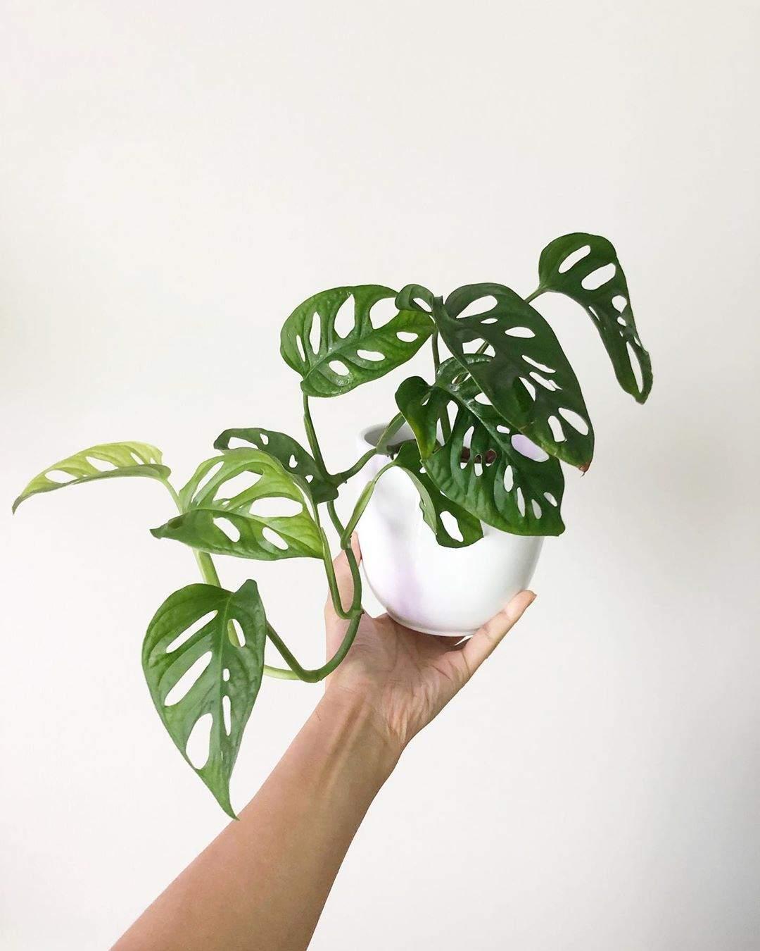 monstera plant aka swiss cheese plant