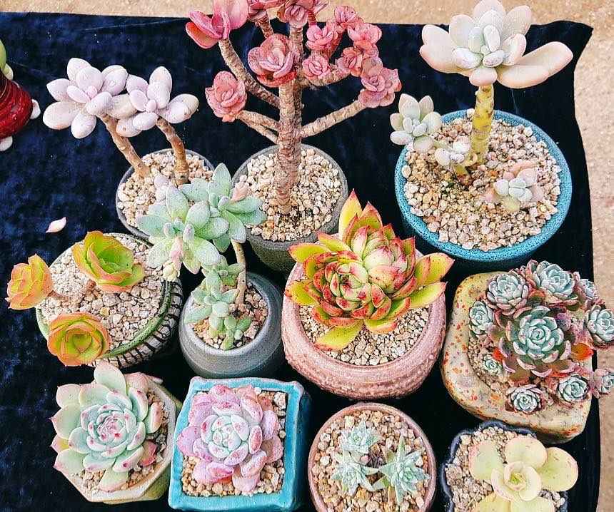 The Chlorofeel Shop rare succulents