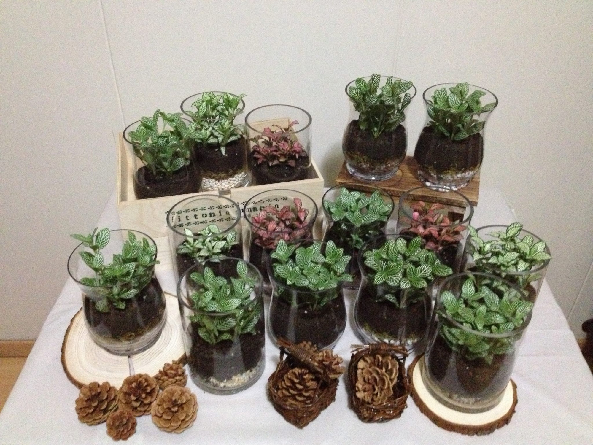FittoniaMania terrariums