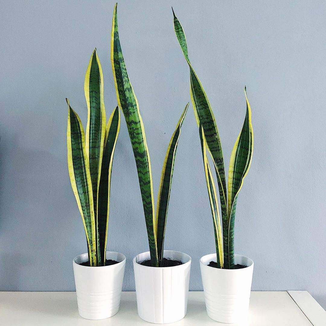 three snake plants
