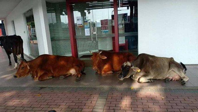 Cows in Klang