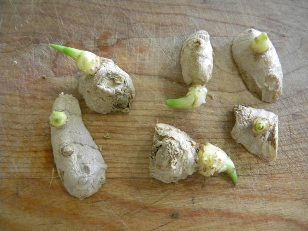 grow ginger at home