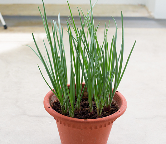 planting sping onions at home