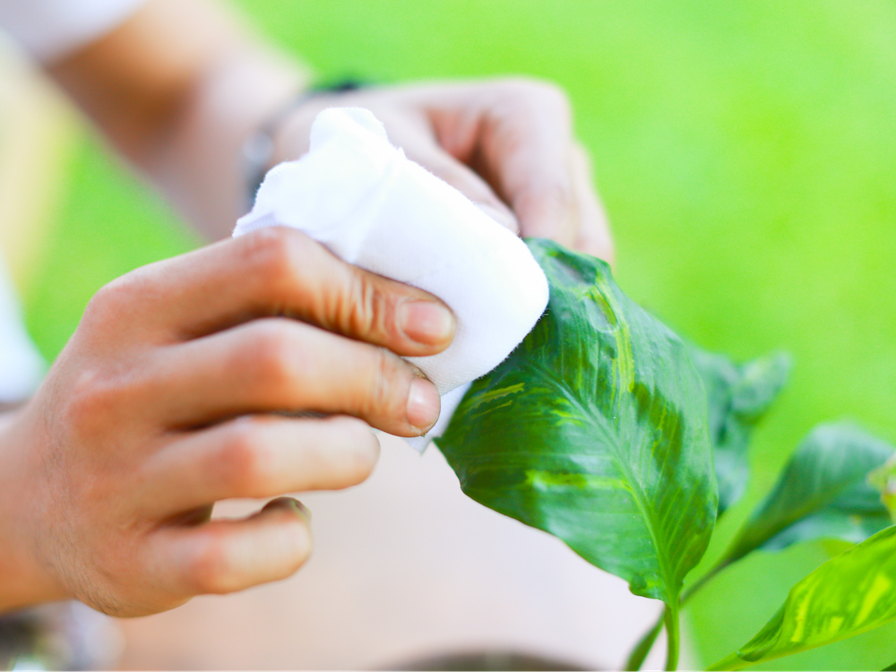 Cleaning your plant regularly will improve its health.