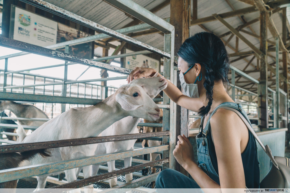 petting goats at hay dairies, countryside getaway in singapore