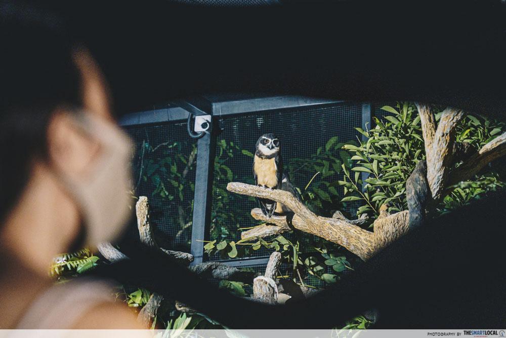 Spectacled Owl - Night Safari